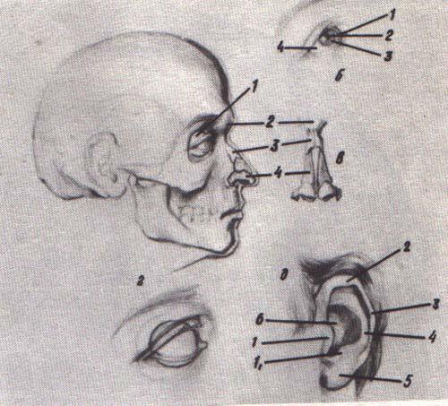 Анатомия в рисунке